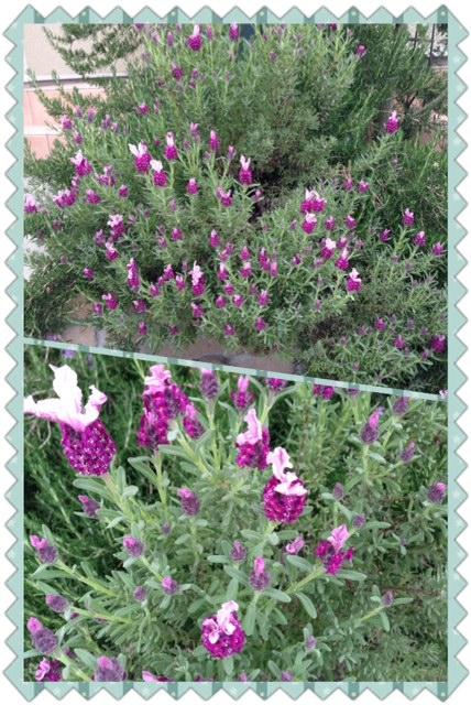 ラビットラベンダー咲き始めました